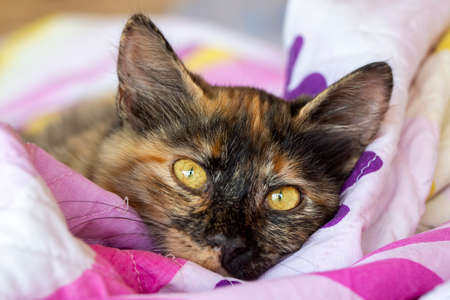 Cute kitten calico (tortoiseshell cat) Stockfoto