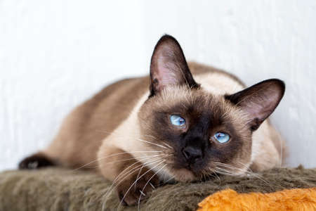 Cute siamese cat