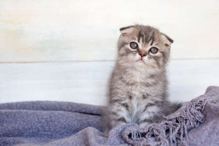 Pet animal; Scottish fold kitten