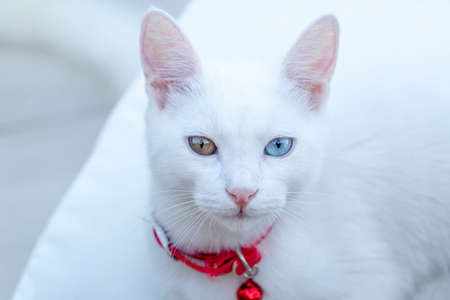 Portrait cute white cat; Turkish name; Van cat Stockfoto