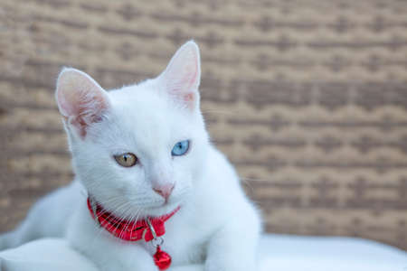Portrait cute white cat; Turkish name; Van cat 免版税图像