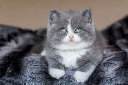 British bicolor kitten, gray and white cute cat 免版税图像 - 158452102