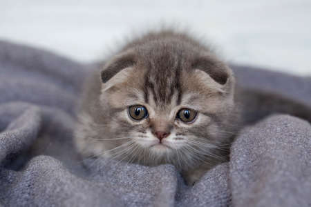 Pet animal cute scottish fold kitten 免版税图像 - 158452106