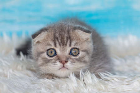 Pet animal cute scottish fold kitten