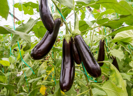 Greenhouse eggplant field agriculture (Turkey / Antalya)