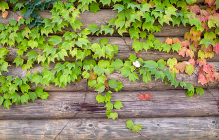 Autumn colors: leaves of Parthenocissus tricuspidata 免版税图像