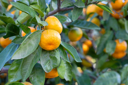 Green fresh organic tangerine tree 免版税图像