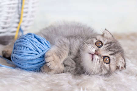 Pet animal cute scottish fold kitten silver