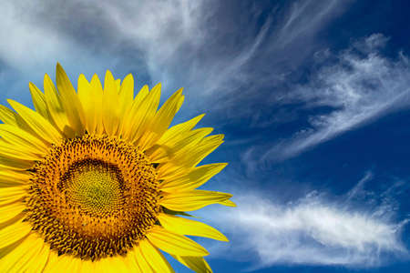 Sunflower field and cloudy sky