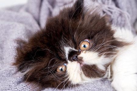 Persian kitten in black and white tuxedo 免版税图像