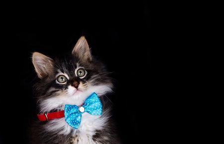 Pet animal; cute cat indoor. Cute kitten cat. 免版税图像