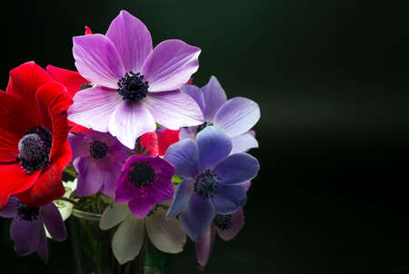Colorful anemone flower on the black background