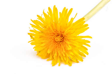 Yellow dandelion, taraxacum officinale on the white background 免版税图像