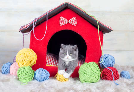 British bicolor kitten, gray and white cute cat