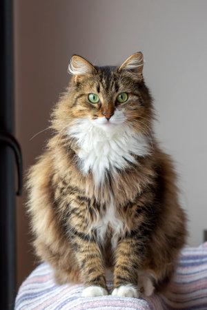 Long haired Norwegian Forest cat 免版税图像
