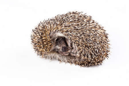 A wild hedgehog is sleeping on a white background