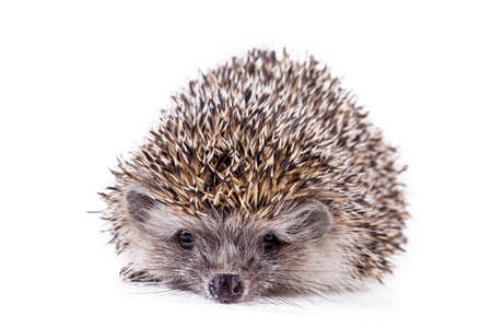 Hedgehog baby on the white background 免版税图像