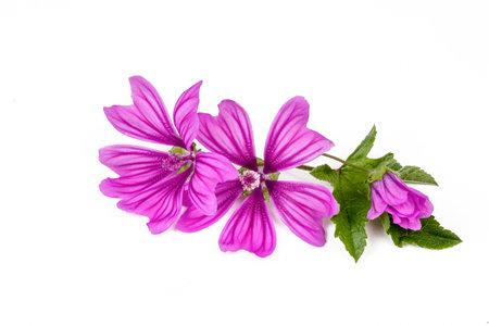 Mallow plant (Malva Vulgaris) flower isolated on white background 免版税图像