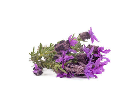 Lavandula Stoechas (French lavender; Spanish Lavender; Topped Lavender); isolated on white