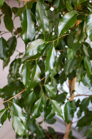 Ficus benjamin with fresh leaves on white background. Background with green leaves of a ficus. 免版税图像