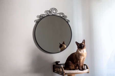 Siamese cat in front of the mirror, artistic photo