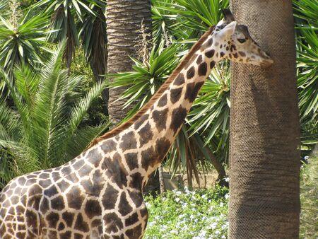Giraffe next to a tree Stock Photo - 11801234