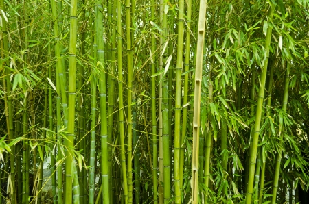 Background of green bamboo trees photo