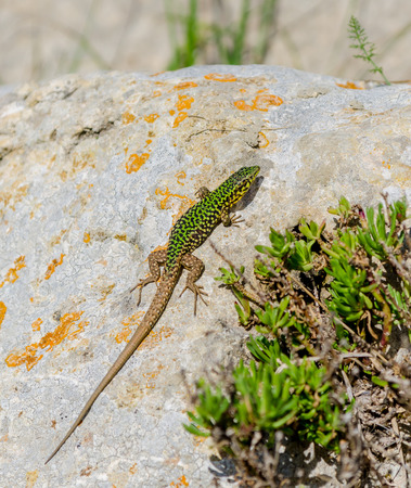 full blooded: Cominotto Maltese wall lizard