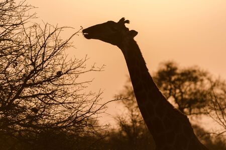 kruger park: Giraffe in Kruger Park South Africa Stock Photo