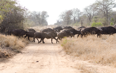 adult kenya: Wild Cape Buffalos in Kruger Park South Africa Stock Photo