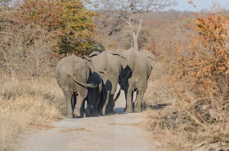 kruger park: Elephants in Kruger Park South Africa