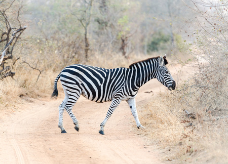 kruger park: Zebra in Kruger Park South Africa