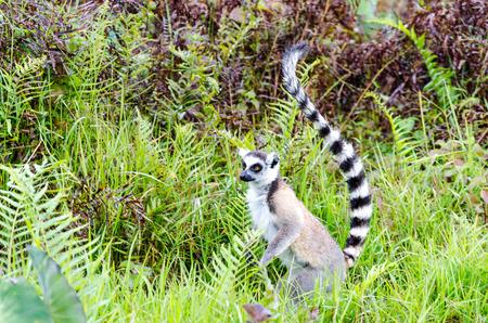 ring tailed: Ring tailed lemur in Andasibe Park Madagascar