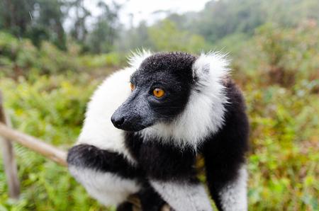 and diurnal: Black and White Ruffed Lemur in Andasibe Park Madagascar