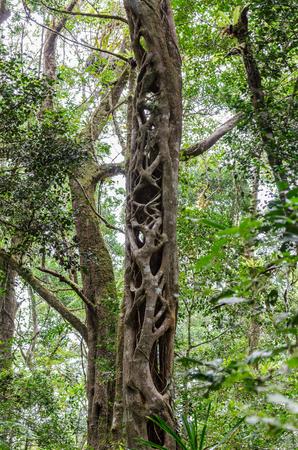 huge tree: Huge Tree in Amber Mountain National Park Madagascar