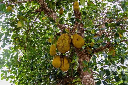 jack fruit: Jack Fruit Tree in Madagascar