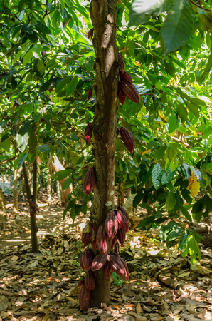 Cocoa fruit in the tree in Antsiranana Province
