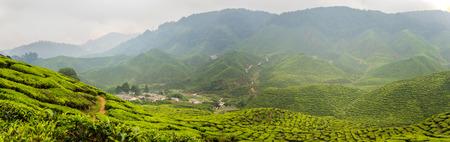 highlands: Tea Plantations at Cameron Highlands, Malaysia