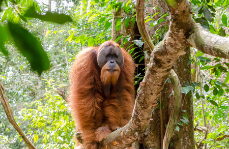 sumatran: Sumatran wild orangutan in Gunung Leuser National Park in Northern Sumatra, Indonesia
