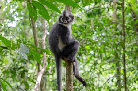 bukit: Thomass leaf monkey in Gunung Leuser National Park in Northern Sumatra, Indonesia Stock Photo