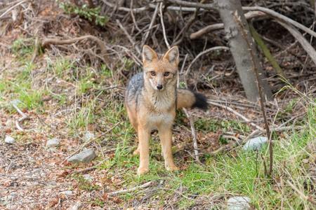 Wild Fox in the Woods in Santa Cruz Province, Argentina Stock Photo