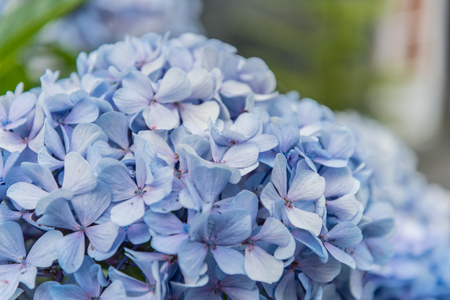 Close up of a blue Hortensia on the island of Sao Miguel in the Azores, Portugal