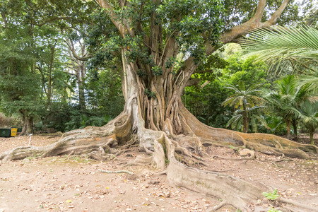 An old tree in Jardim Jose do Canto in Ponta Delgada on the island of Sao Miguel, Portugal