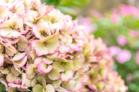 Close up of a pink Hortensia on the island of Sao Miguel in the Azores, Portugal