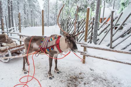Reindeer in Rovaniemi, Finland Stock Photo