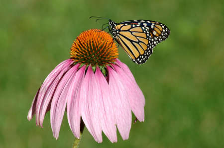 poisonous insect: Monarch butterfly on a purple coneflower