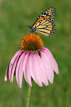 Monarch butterfly on a purple coneflower