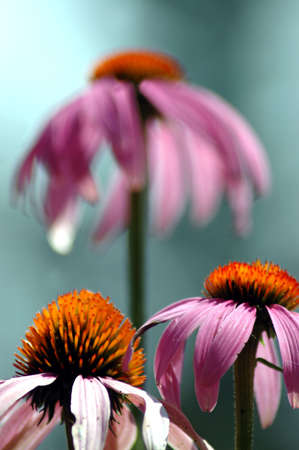 one purple coneflower rising above the rest photo