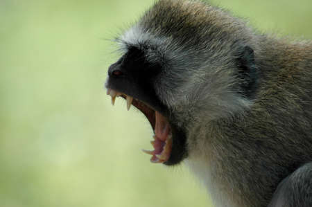 Angry vervet monkey bares his fangs