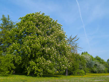 flowering spring chestnut trees  photo